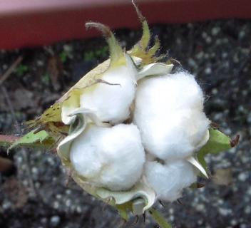 cotton2.png