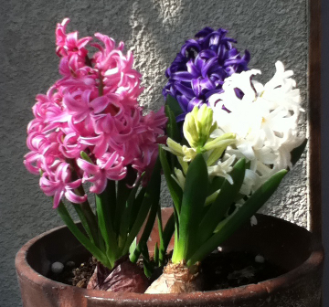 hyacinth.png